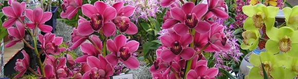 Cymbidium Mericlones & Seedlings