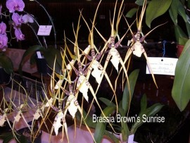 Brassia Brown's Sunrise 'Mark'